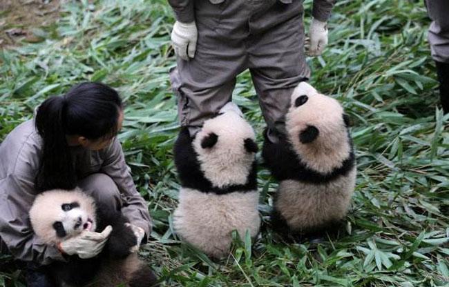 熊猫宝宝集体出街