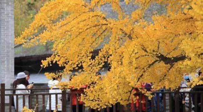 千年银杏树成网红 树叶落下满地金黄美不胜收