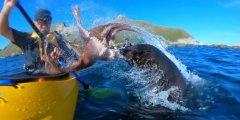 """海豹捕猎章鱼殃及他人 皮划艇运动员被章鱼""""扇了一耳光"""""""